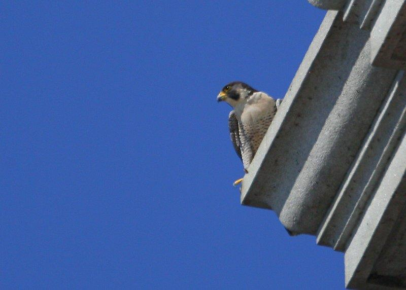 Adult Peregrines guarding the nest box