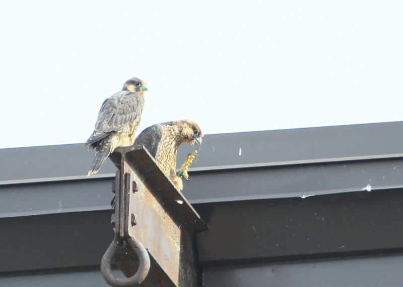 Peregrine chicks: fledgling stage, siblings hanging out