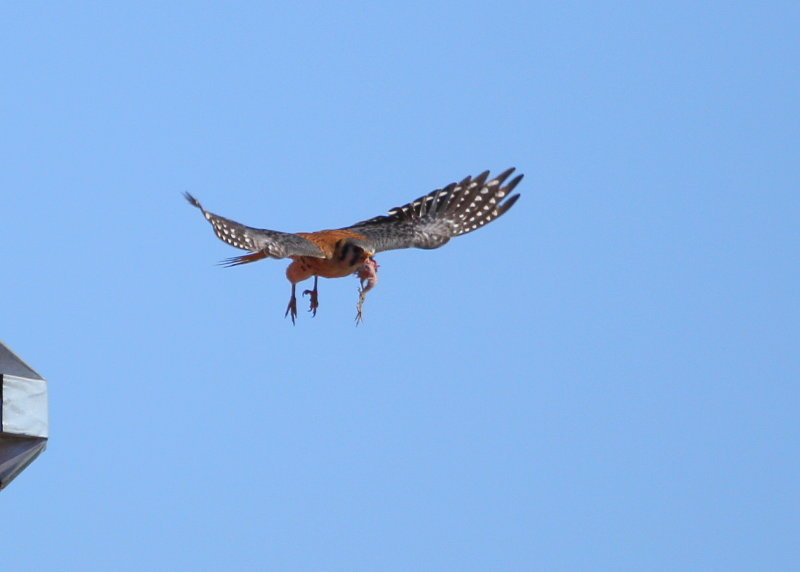 American Kestrel, male returning to nest with prey