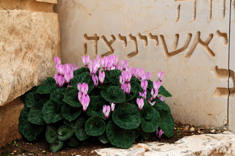 Cyclamen flowers in the Valley of the Destroyed Communities