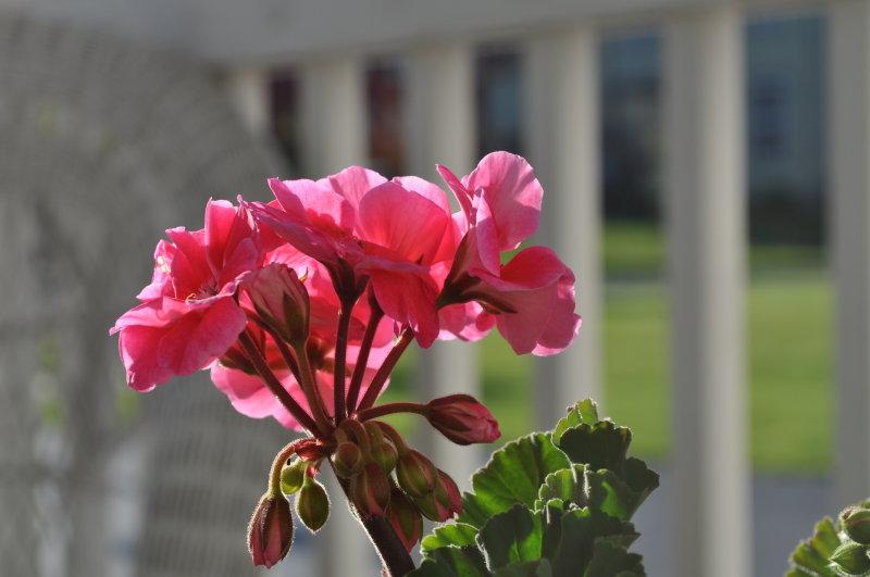 A front porch Geranium