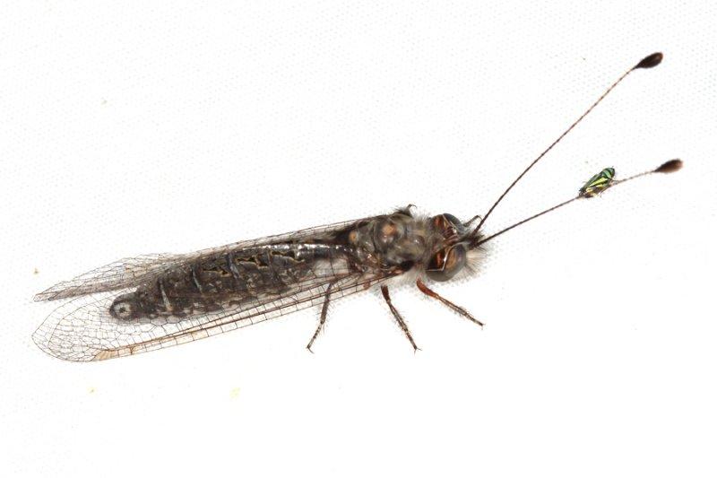 Owlfly - Ascalaphidae