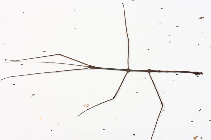 Stick Insect - Phasmida (8 long)