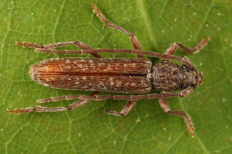 Anelaphus pumilus