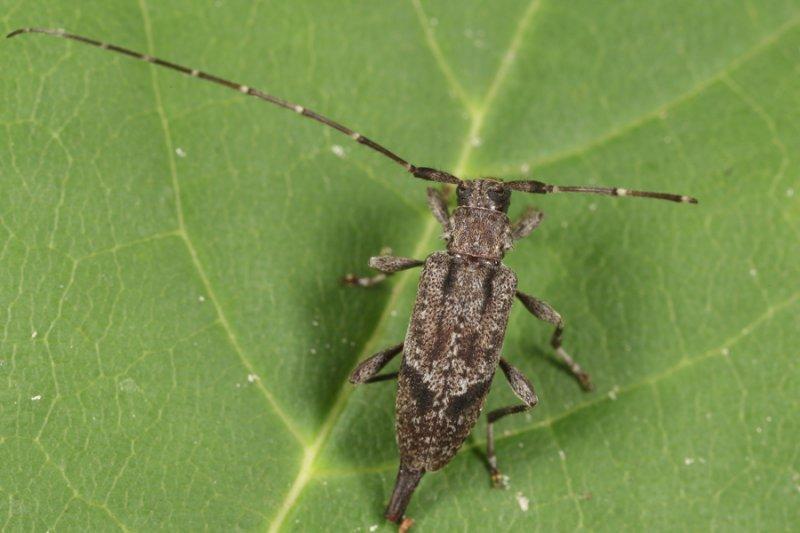 Eutrichillus biguttatus