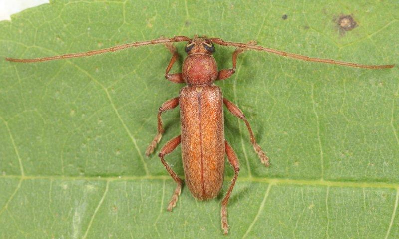 Hesperophanes pubescens