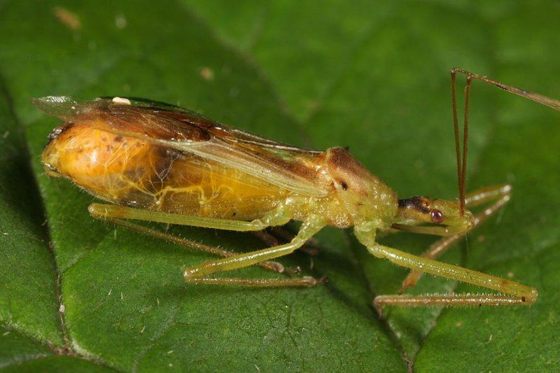 Zelus luridus (parasitized)