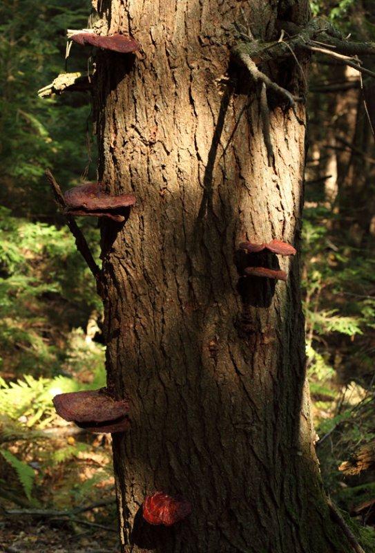 Ganoderma lucidum (Hemlock Varnish Shelf)
