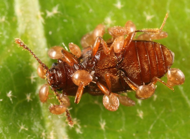 Cryptophagus laticollis (loaded with phoretic mites)
