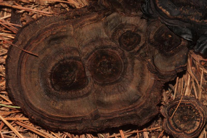 Coltricia cinnamomea