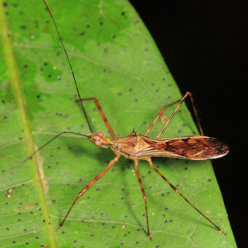 Harpactorinae - Repipta sp.