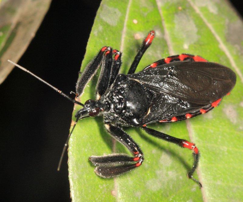 Apiomerus sp.