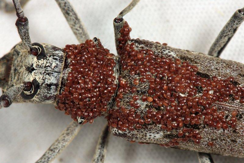 Trematuridae on a Northeastern Pine Sawyer - Monochamus notatus