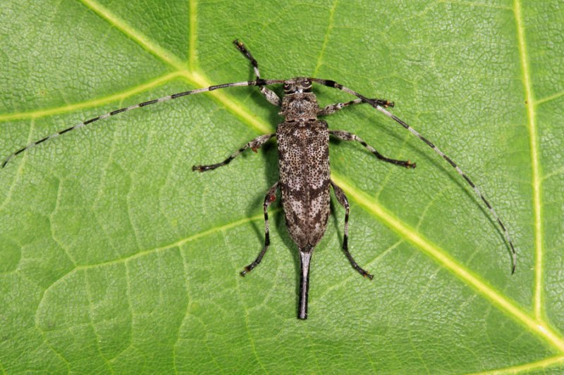 Acanthocinus obsoletus