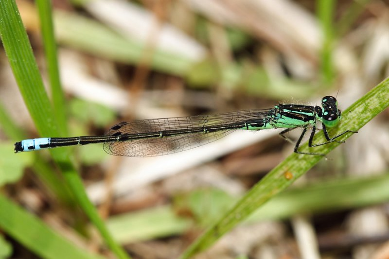 Eastern Forktail - Ischnura verticalis (male)