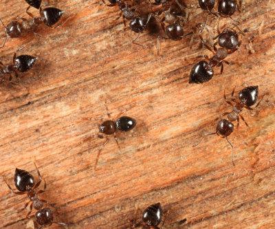 Phruronellus formica (spider) - Crematogaster cerasi (ants)