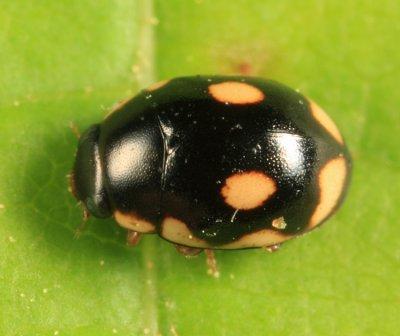 Hyperaspis undulata