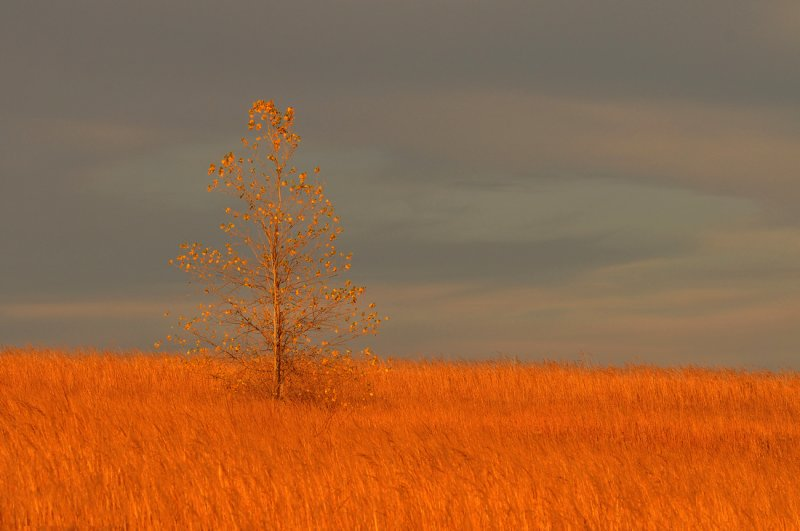 Lone Tree with Fall Colors