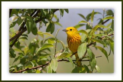 Une magnifique paruline jaune