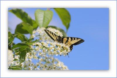 Un si beau et pur papillon Tigré