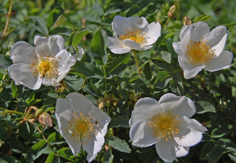Klitrose  -  Scotch rose