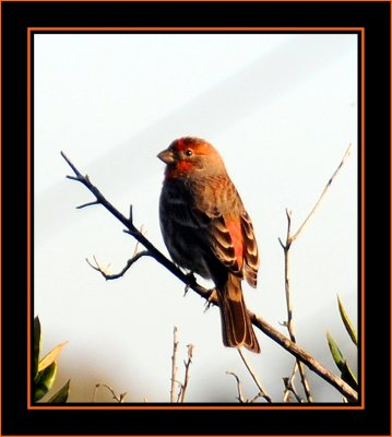 House Finch; Orange Variant