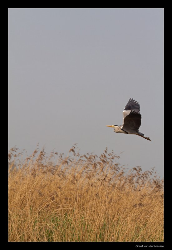 2391 flying grey heron