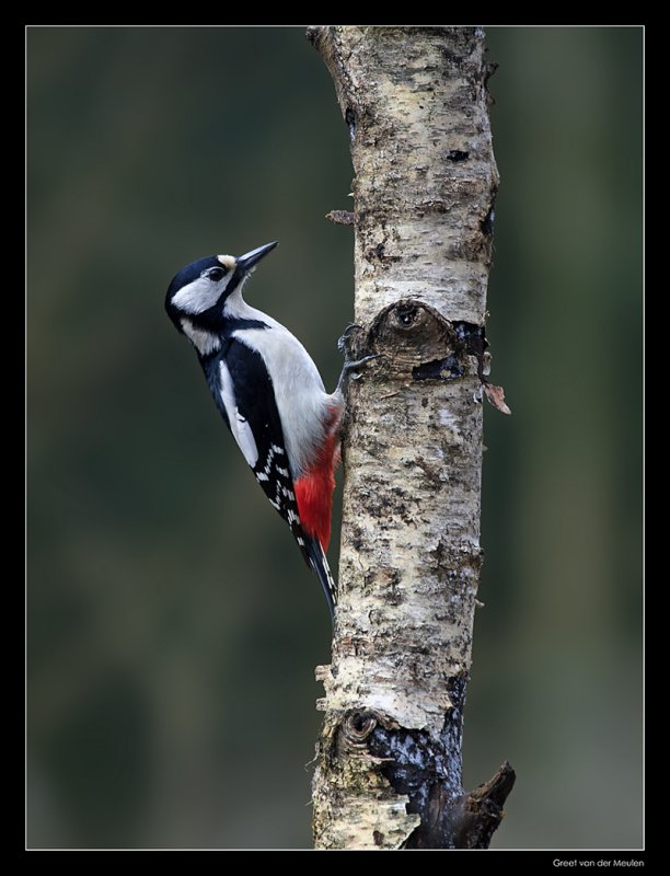 9541 great spotted woodpecker