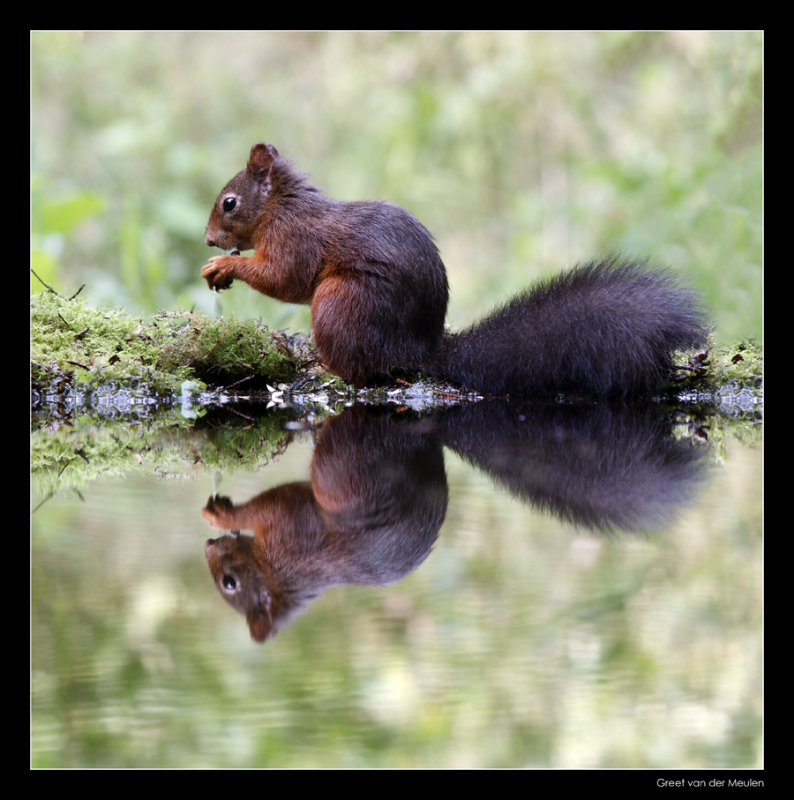3434 red squirrel