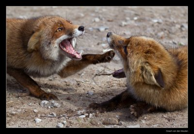 7814 fighting foxes