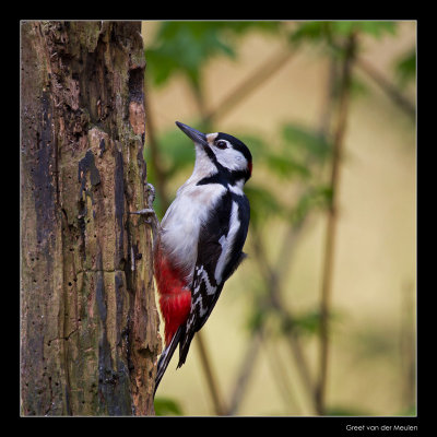 0483 great spotted woodpecker