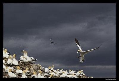 7619 landing gannet