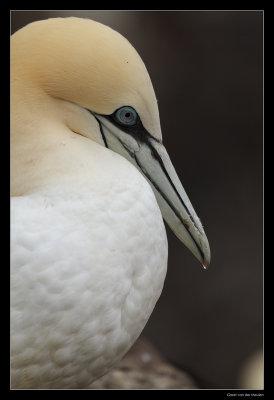 7453 s-shaped gannet