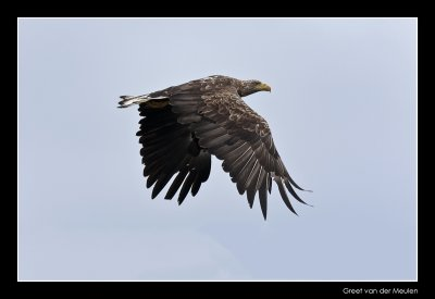 5554 white tailed eagle