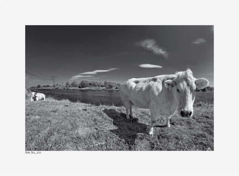 Meuse and Cows