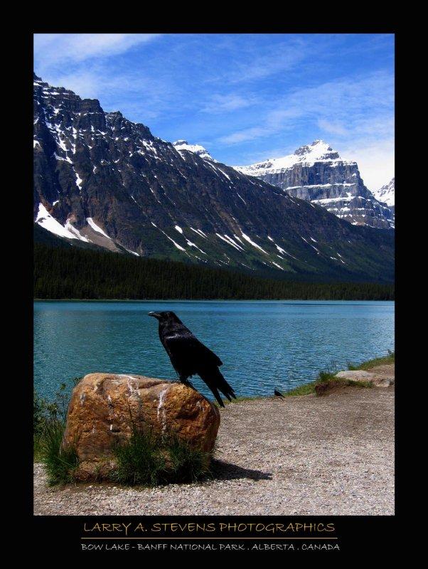BANFF NP - Raven @ Bow Lake