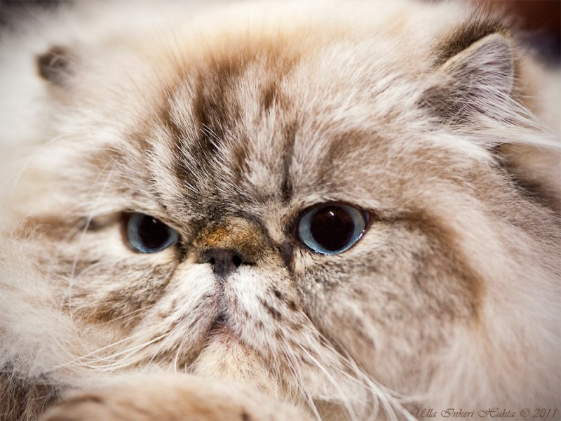 Browntabby colourpoint Persian (?)