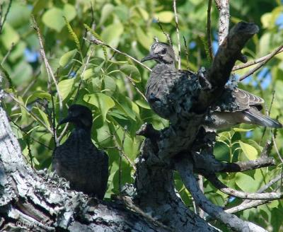 mourning dove fledglings