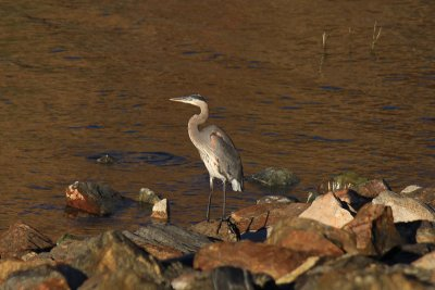 Grey Egret