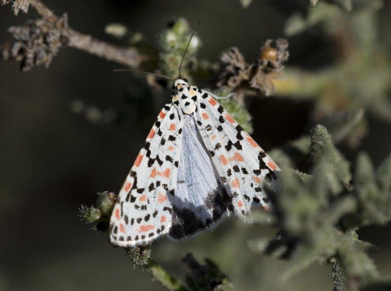 6. Utetheisa cf. lotrix lepida (Cramer, 1777) - Crotalaria Moth