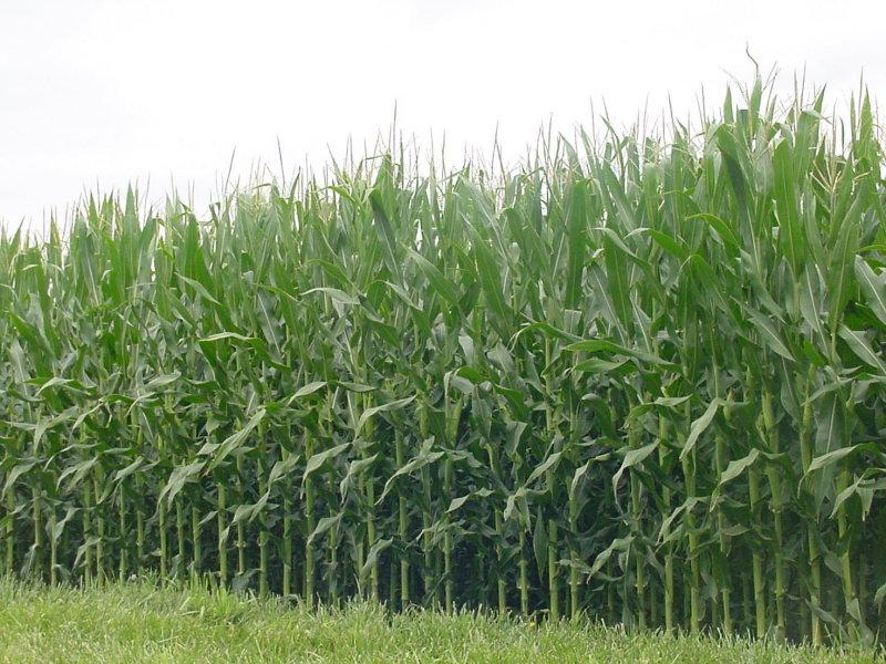 Cornfields, cornfields and more cornfields, as you drive through Illinois.