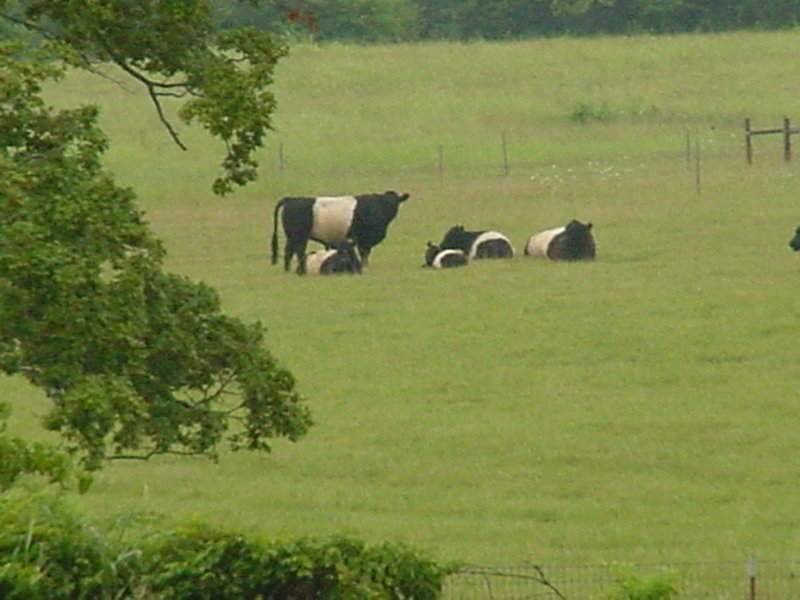 As you walk up the path to the Hermitage, you can see the cows grazing lazily nearby.