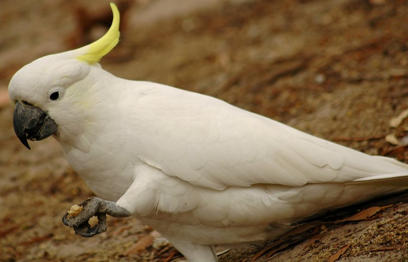Cockatoo  Australian Outback