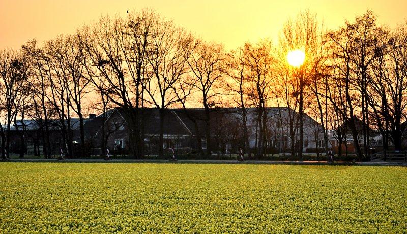 Sunset over Bulb Field
