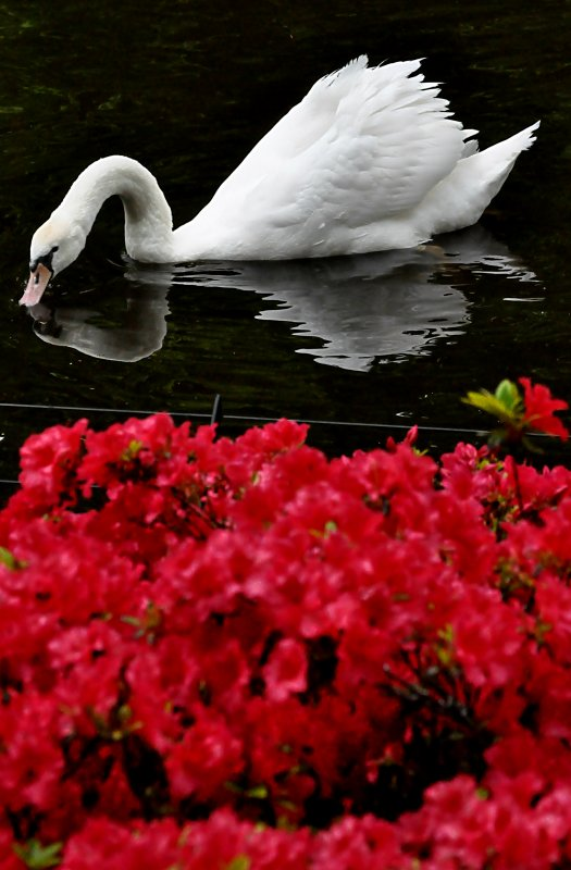 Reflection of a Swan