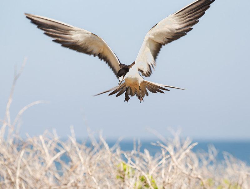 Bridle Tern, Onychoprion anaethetus