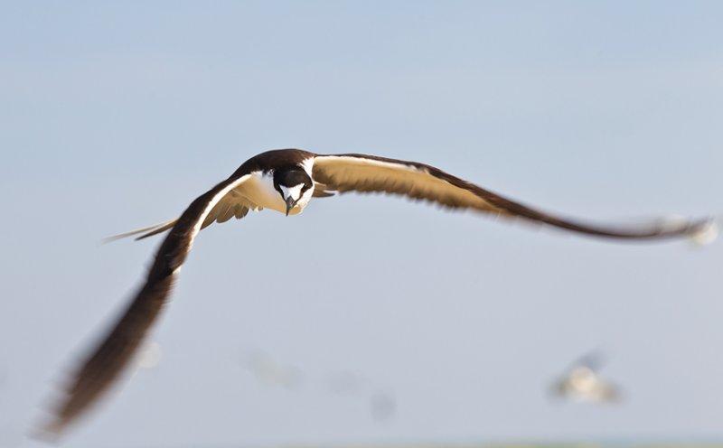 Sooty Tern, Onychoprion fuscata