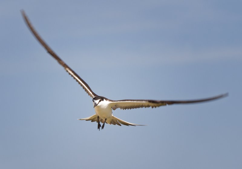 Sooty Tern-9.jpg