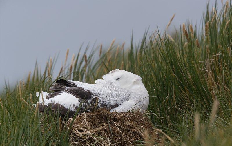 Nesting Wandering Albatross