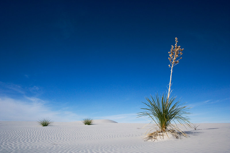 Indigenous YUCA plant - White Sands